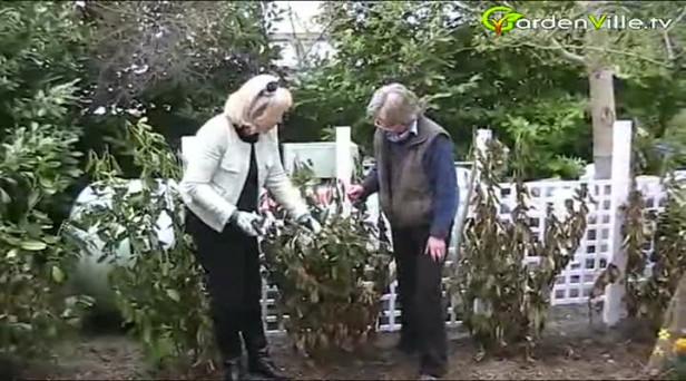 How to revive a Laurel Hedge (Prunus laurocerasus)