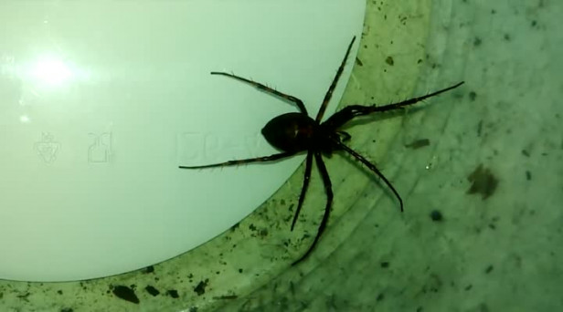 62294c93c ARCHIVE VIDEO: Man kills false widow spider found in garage