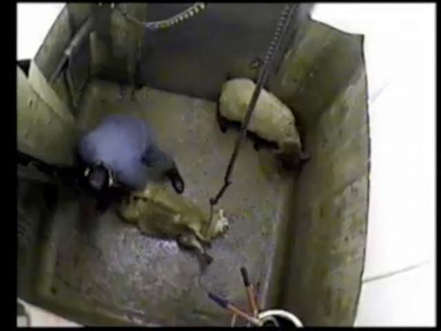 *graphic content* VIDEO: Undercover halal slaughterhouse film reveals  'horrific' animal abuse