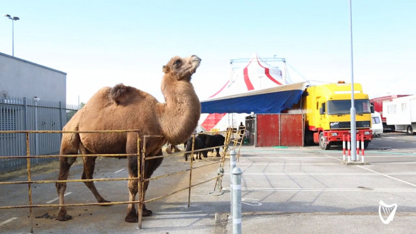 online retailer f3f57 20062 VIDEO: Animal Rights Activist say this camel in Finglas carpark does not  have suitable living conditions