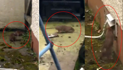 WATCH - Disturbing footage: Family 'terrorised' by rat infestation at their  Donegal home