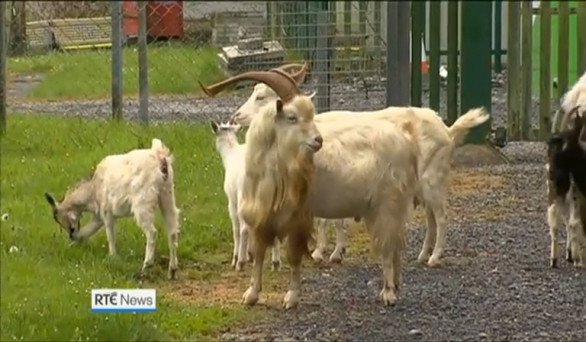 bf7706bf868 VIDEO  Wild goats are causing trouble in Co Clare -  They can be a pain but  no one wants them culled
