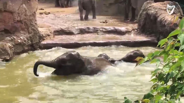 watch adorable baby elephants are having a pool party at dublin zoo