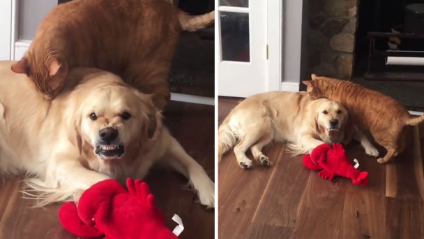 Watch Golden Retriever Is Seriously Unimpressed By A Curious Cat